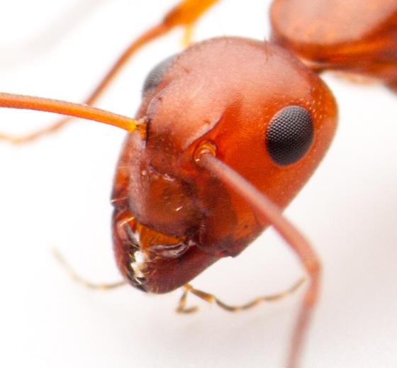 Camponotus ID - Camponotus decipiens - female