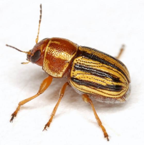 Pachybrachis dubiosus LeConte - Pachybrachis dubiosus