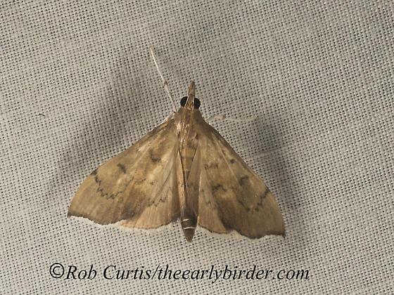 9047860 moth - Sericoplaga externalis