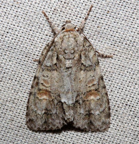 Noctuidae, Exiled Dagger Moth - Acronicta exilis