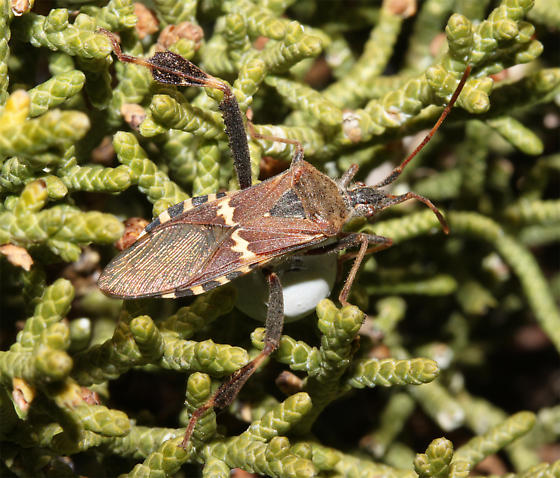 - - Leptoglossus clypealis