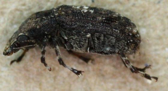 Anthribidae > Brachycorynus sp? - Euparius paganus