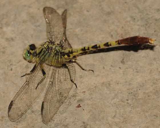 Arigomphus submedianus - Jade Clubtail - Arigomphus submedianus