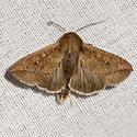 Armyworm Moth - Hodges #10438 - Mythimna unipuncta
