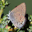 A third blue butterfly from the Sierra Nevada - Satyrium behrii