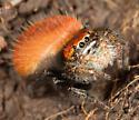 Phidippus adumbratus? - Phidippus nikites - female