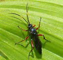 Wasp with red legs