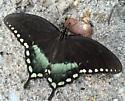 Papilio troilus - Spicebush Swallowtail - Hodges#4181 Male - Papilio troilus - male