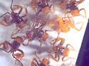 Reduviidae, sticky eggs - Apiomerus