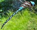 Rhionaeschna mutata, Spatterdock Darner - Rhionaeschna mutata - male