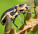 Eudiagogus pulcher