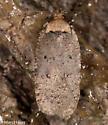 Agonopterix nigrinotella