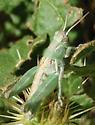 green nymph - Melanoplus lakinus - male