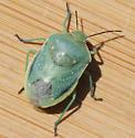 Green Stink Bug? - Chlorochroa