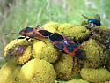 Small Milkweed Bugs mating - Lygaeus kalmii - male - female