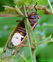 Periodical Cicada - with fungus? - Magicicada septendecim