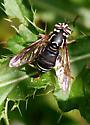 Spilomyia - Spilomyia fusca