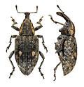 North Dakota weevils - Lepyrus oregonus