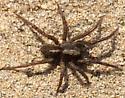 Spider on the beach - Trochosa