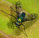 Fly on dogwood leaf - Condylostylus