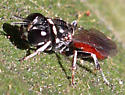 Red bodied Hymenopteran - Crossocerus