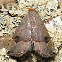 Ommatochila Moth - Hodges #8489 - Ommatochila mundula