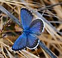 Butterfly - Euphilotes