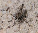 robber fly – Efferia albibarbis? - Efferia albibarbis - male