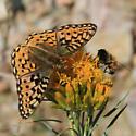 Butterfly  - Speyeria mormonia
