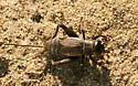 Black Cricket - Gryllus pennsylvanicus - female