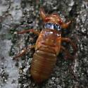 More Cicadas - Magicicada