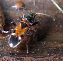 True Bug - Raglius alboacuminatus