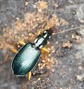 Green Beetle  - Agonum extensicolle
