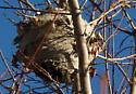 paper wasp nest? - Dolichovespula