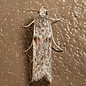 Caristanius decoloralis
