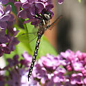 Brown, black and white Mosaic Darner - Rhionaeschna californica