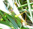 Meadow Katydid - Orchelimum pulchellum - male