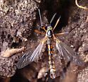 Unknown Insect - Phoroctenia vittata - male