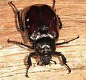 large scarab - Osmoderma eremicola