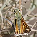 Skipper Butterfly - Hesperia colorado