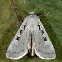 Unknown Moth - Euxoa tristicula