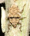 Weevil - Trichosirocalus horridus