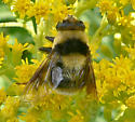 Bumble Bee or Fly? - Eristalis flavipes - female