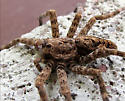 Dolomedes tenebrosus - Fishing spider - Dolomedes tenebrosus - female