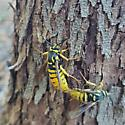 Wasp or. Hornet? (We're new, be nice) - Paranthrene simulans - male - female