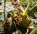 Vespula germanica with Yellow Striped Grasshopper - Vespula germanica
