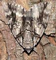 Moth ID Request - Catocala vidua