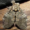 moth ID please - Peridea angulosa
