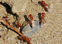 Winged red Pogos: Female, Right? - Pogonomyrmex californicus