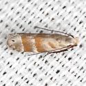 Stripe-backed Moth - Hodges #2229 - Battaristis vittella